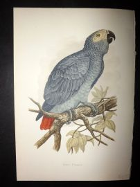 Greene Parrots in Captivity 1887 HC Bird Print. Grey Parrot